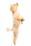 Apricot poodle standing on hind legs and looking up. On a white background royalty free stock photography