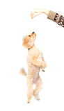 Apricot poodle standing on hind legs and looking up stock photography