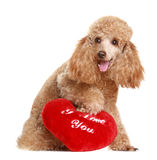 Apricot poodle with valentine gift. Isolated on white background royalty free stock photography