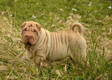 Apricot puppy sharpei's portrait. Apricot, horse coated puppy sharpei, age 5 weeks old,  winkled dog Stock Photography