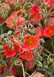 Apricot Rockrose Helianthemum Flowers. This vertical stock image is of apricot rockrose Helianthemum flowers.  They possess unusual shades of sage green foliage Royalty Free Stock Photos