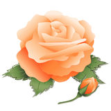 Apricot Rose and Bud. Old fashioned antique heritage apricot rose and bud on white background Stock Image
