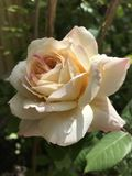 Apricot rose kissed by the sun and rain royalty free stock photography
