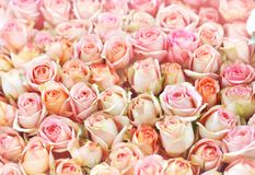 Apricot roses blooming flowers bouquet stock photos