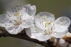Apricot's bloom. Snowy apricot's bloom royalty free stock photography