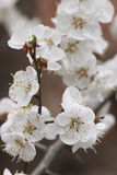 Apricot's bloom. White apricot's bloom royalty free stock image