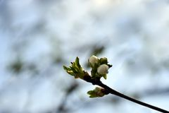 Apricot`s Blooming branch in the garden stock images