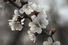 Apricot's Blossom Royalty Free Stock Image