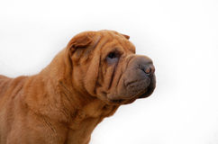 Apricot sharpei dog portrait isolated Royalty Free Stock Photos