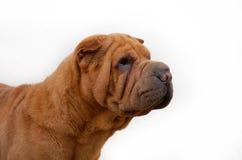 Apricot sharpei dog portrait isolated. Apricot sharpei dog portrait , isolated on white Royalty Free Stock Photos