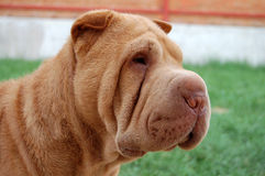 Apricot  sharpei portrait. Mahagony coloured sharpei male's portrait Royalty Free Stock Image
