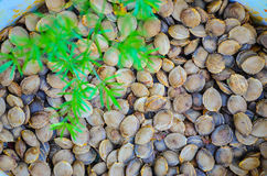 Apricot shells spread on the ground Stock Photography