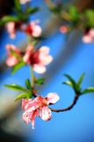 Apricot spring Stock Images