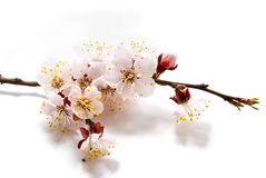 Apricot spring flowers. Over white Stock Image