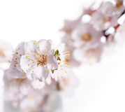 Apricot spring flowers close up on white background Royalty Free Stock Photos