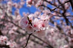 Apricot spring flowers stock photography