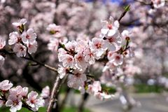 Apricot spring flowers stock photos