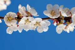 Apricot By Springtime Stock Photos