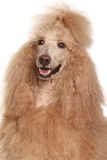 Apricot Standard Poodle portrait Stock Photos
