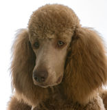 Apricot standard poodle. Portrait on white background Stock Images