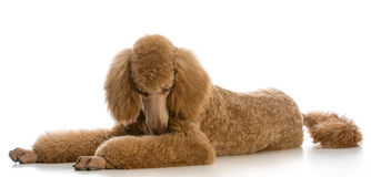 Apricot standard poodle. Portrait on white background Stock Photography