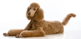 Apricot standard poodle. Portrait on white background royalty free stock photos
