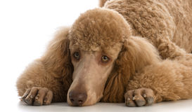 Apricot standard poodle. Portrait on white background Stock Photos