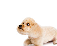 Apricot toy poodle lying on a white background stock images