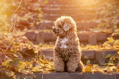 Apricot toy poodle portrait in autumn with leaves in the park. Horizontal royalty free stock photo
