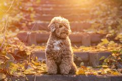 Apricot toy poodle portrait in autumn with leaves in the park. Horizontal royalty free stock image