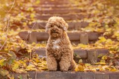 Apricot toy poodle portrait in autumn with leaves in the park. Horizontal. Copyspace stock image