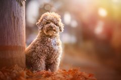 Apricot toy poodle portrait in autumn with leaves in the park. Horizontal. Copyspace stock photo