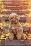 Apricot toy poodle portrait in autumn with leaves in the park. Vertical. Copyspace royalty free stock photo