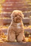 Apricot toy poodle portrait in autumn with leaves in the park. Vertical. Copyspace stock photography