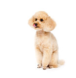 Apricot toy poodle sitting with his tongue hanging out royalty free stock image