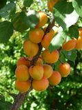 Apricot Tree. In summer before the harvest Stock Photos