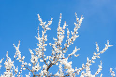 Apricot tree Stock Photography