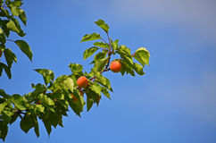 Apricot tree. Apricot branch on the sky background Stock Photo