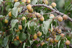 Apricot-tree. Royalty Free Stock Image