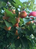 Apricot tree. Apricots on the tree Stock Photo