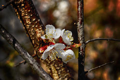 Apricot tree. Beautiful spring flower Royalty Free Stock Images