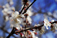 Apricot tree. Beautiful spring flower Stock Photography