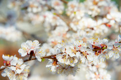 Apricot tree bloom Stock Images