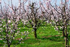 Apricot Tree In Bloom Royalty Free Stock Image