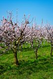 Apricot Tree In Bloom Stock Photography