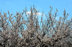 Apricot tree blooms. Flowering branches of apricot tree against the sky in clear weather Royalty Free Stock Photography