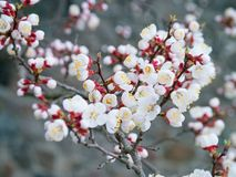 Apricot tree blooms on a spring day. White flowers branch no lea. Ves. Closeup Shallow depth of field. Nature background. The concept of the awakening of spring Stock Photography
