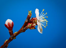 Apricot tree blossom Royalty Free Stock Images