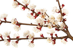 Apricot tree blossom branch Stock Photo