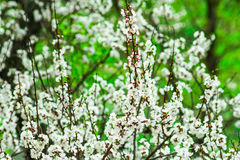 Apricot tree blossom branches with delicate white flowers and buds, green foliage background, spring Royalty Free Stock Image